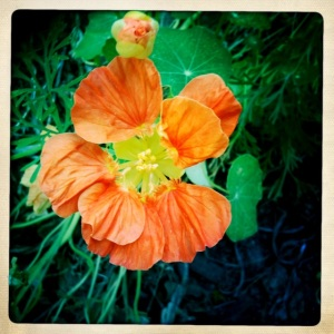 5/8/2012 Project 365 Why weave? Nasturtium