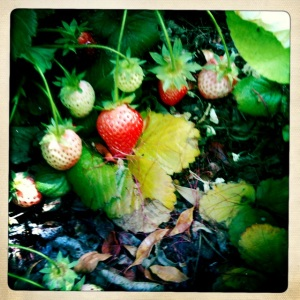 5/15/12 Project 365 Strawberries